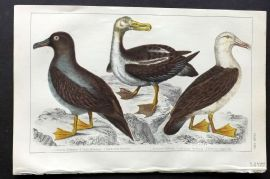 Goldsmith 1851 Hand Col Bird Print. Albatross
